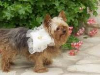 Dog_Ring_Bearer